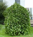 2000+ seeds of Black Weeping Mulberry Morus alba from Canada