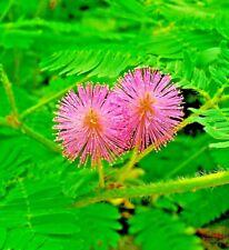 RARE SENSITIVE PLANT TOUCH ME NOT 160+ SEEDS FLOWER UNUSUAL UNIQUE VINING USA