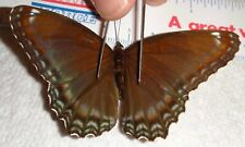 Limenitis arthemis astyanax Wisconsin #19i Red Spotted Purple Butterfly Moth