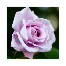 Rose Bare Root Plant 'Blue Moon' Hybrid Tea Blue / Lilac Highly Scented Roses
