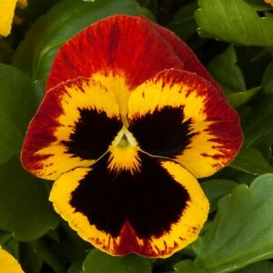 50 Pansy Seeds Majestic Giant Fire FLOWER SEEDS
