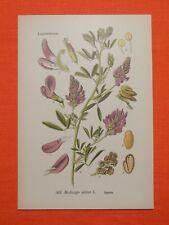 Luzerne (Medicago sativa), auch Saat-Luzerne THOME Lithographie 1890