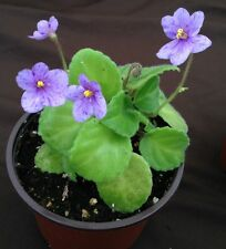 African Violet Plant- Allegro Appalachian Trail (HEAVY TRAILER) 2 inch
