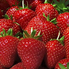 Ozark Beauty Everbearing Strawberry Plants(30) Great for canning, eating