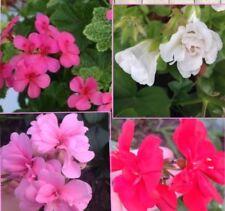 X 10 Mix  Colour Flower Ivy Pelargonium Geranium Cuttings Plants