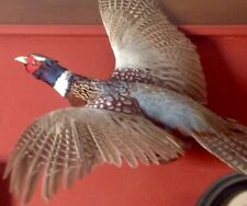 Vintage Large Ringneck Rooster Pheasant Flying Left Mount Excellent Cond