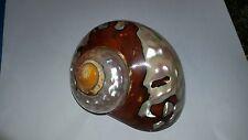 Conchiglia Shell  TURBO SARMATICUS  con opercol0 senza periostraco mm 93 Large