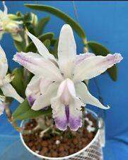 Cattleya intermedia Coerulea Punctata X L sincorana coerulea 3� Pot (15)
