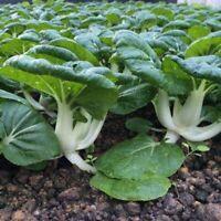 5000Pcs Canton PAK CHOI Bok Choy Chinese Cabbage Green Vegetable Seeds Garden