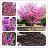 50 Pcs Seeds Bauhinia Plants Cercis Chinensis Bonsai Flowers Redbud Tree Garden