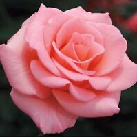 Beautiful Pink Rose Flower Seeds 50Pcs