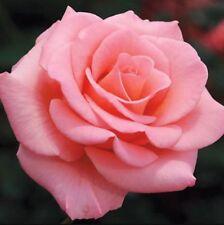 Beautiful Pink Rose Flower Seeds 80Pcs