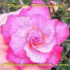 "ADENIUM OBESUM DESERT ROSE TRIPLE FLOWER "" TRIPLE ULTIMATE "" 20 seeds NEW"