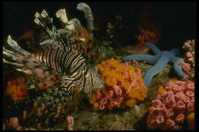 307070 Lionfish On Cup Coral A4 Photo Print