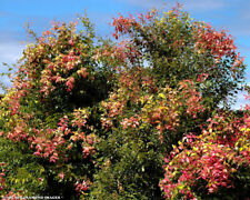 Small Leaf Lilly Pilly Syzygium Luehmannii Tree Plant Fresh Seeds 18+