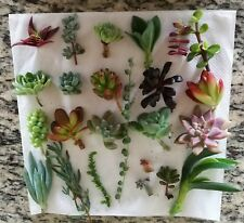22 Assorted Succulent Cuttings/ 20 Varieties with BONUS
