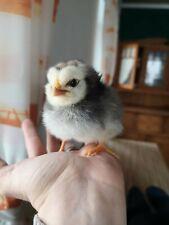 10 Hühnereier Eier (keine) Bruteier Sussex Vorwerk Maran Grünleger öko Hühner