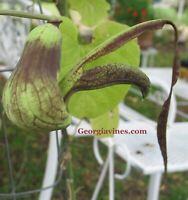 Aristolochia Pohliana x esperanzae 15 seeds