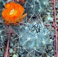 Acanthocalycium glaucum P143,seeds20 pcs