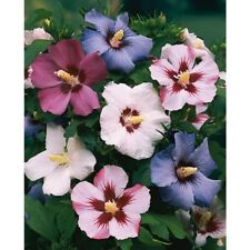Rose of Sharon Seeds - Mixed Colors - Perennial Flowering Bush - 25 Seeds