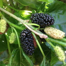Mulberry black Morus nigra Tree 10 Cuttings no roots Great for Jelly Eating