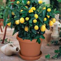 10 Lemon Tree Seeds Relic Lime Potted Plant Rare Fruit Home Garden Bonsai Plants