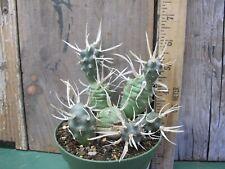 Tephrocactus papyracanthus - Rare! Gorgeous! Strange!