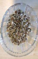 Moringa Oleifera Seeds Finest Organic Quality HAND SELECTED
