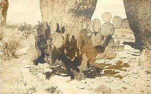 c1920 RPPC Postcard; Opuntia Prickly Pear Cactus, Deming NM Luna County Unposted