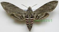 Agrius convolvuli (Linnaeus, 1758) female 85-95mm