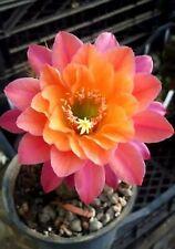Hildewintera Mamacita plant rare plant