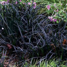"5 Bare Root ""Black Dragon"" Mondo Grass Divisions Ophiopogon planiscapus ""Nigra"""