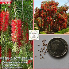 100+ WEEPING BOTTLEBRUSH SEEDS(Callistemon viminalis); Drought Resistant