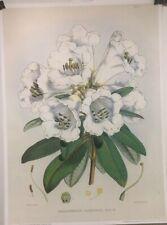 FINE ART LITHOGRAPH: Botanical Reprint Rhododendron Dalhousle 20 X 27