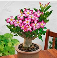 Desert Rose~Bonsai🌺Pink Flower Kit🌺Soil+Pot+Plant+Too ls·Fun Gift Diy Garden