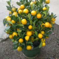 30 pcs/pack Calamondin Minature Fruit Tree Seed Dwarf Citrus Fortunella Doc W9T4