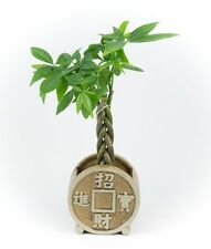 Money Tree - Indoor House Plant in a Brown Ancient Chinese Coin planter