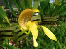 Bulbophyllum grandiflorum orchid plant Bloom Size Thailand Cites Phyto