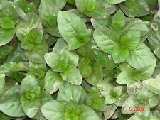 2x Sumpfminze Bachminze im Topf 9x9cm Wasserminze besonders schöne Teichpflanze