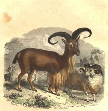 SHEEP. Sheep ordinary Mouflon cuffs; Aries Merino 1873 old antique print