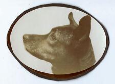 photographie portrait de chien de profil vers 1930 chien photo dog