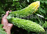 Bitter Melon Japanese Giant - One Single Fruit Can Grow Up to 1 KG - 5 Seeds!!!