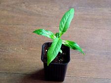 Variegated Noni , ( Morinda citrifolia , Variegated form ) * 1 PLANT * NEW!