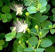 ALCAPARRA - capparis spinosa. 500 Semillas - Seeds.