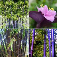 SELTENE Lila Bambus, Timor Bambusa Lako - 100 Viable-Seeds X0V5