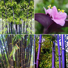 RARE Purple Bamboo, Timor Bambusa Lako - 100 Viable-Seeds