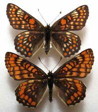 Euphydryas opulenta pair aberration& typical fem from Moldova  (mounted)