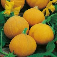 Kings Seeds - Squash (Winter) Gold Nugget - 15 Seeds