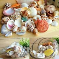 ocean sea shell lot of 6 Wart Cowrie shells for shell craft nautical or ?/</>/<