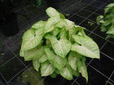 "Syngonium ""Lemon Lime""  Shade plant Heart Shaped Hardy Indoors Pots Climbing"